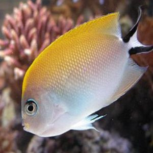 Swallowtail Angelfish-Female PRE-ORDER