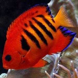 Flame Dwarf Angelfish