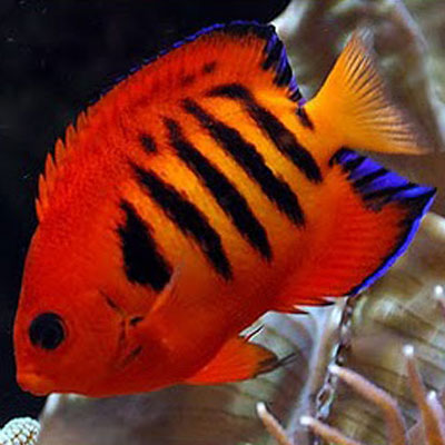 Flame Dwarf Angelfish