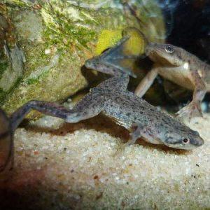 Aquatic Frog
