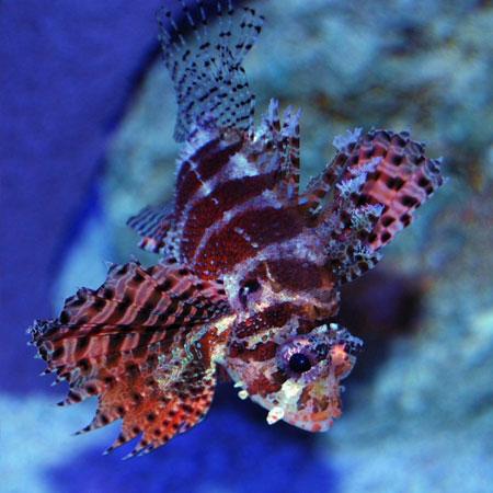 Fuzzy Dwarf Lionfish MED