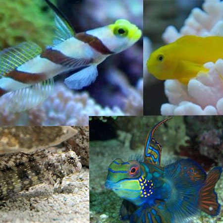 Gobies, Dragonets and Blennies