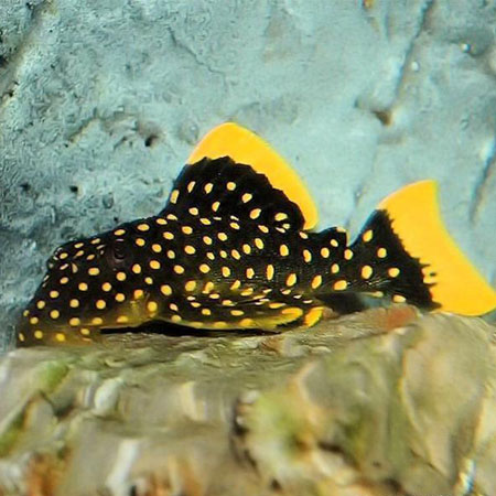 Gold Nugget Pleco L18