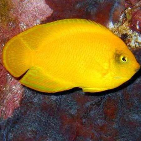 Herald's Dwarf Angelfish