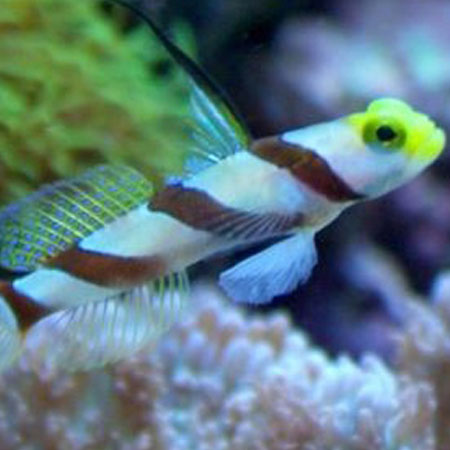 Hifin Yellow Nose Goby/Hifin Banded Goby PRE ORDER