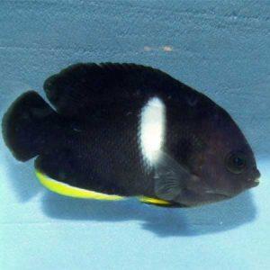 Keyhole Dwarf Angelfish PRE-ORDER