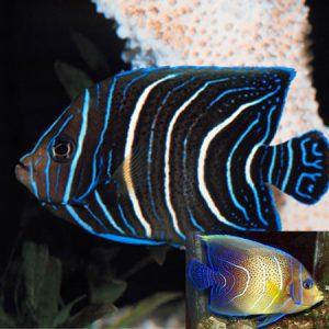 Koran Angelfish Juvenile PRE-ORDER