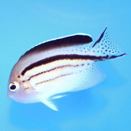 Lamarck Angelfish PRE-ORDER