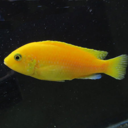 Lemon Cichlid 4/6cm