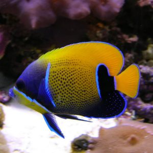 Majestic Angelfish Adult PRE ORDER