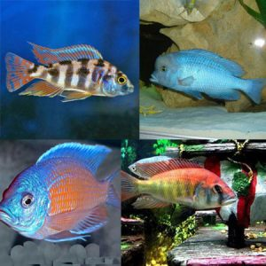 Tropical Tank Filler Malawi Pack (Pack 22)