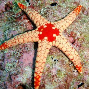 Maldive Starfish
