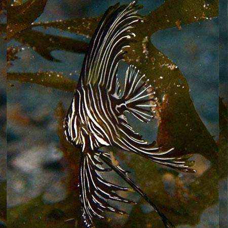 Marble Batfish