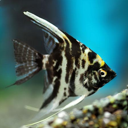 Marble Angelfish med