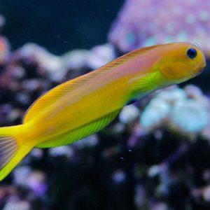 Yellow Tail Midas Blenny  PRE-ORDER