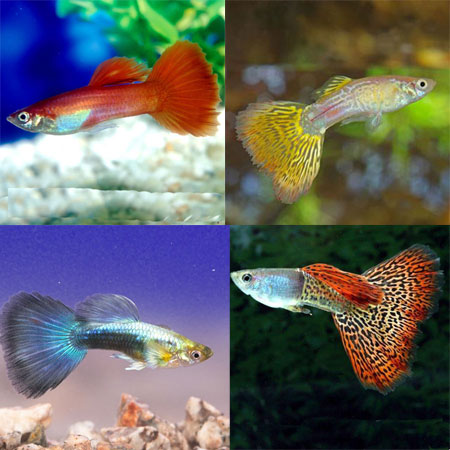 Assorted Male Guppy Livebearers