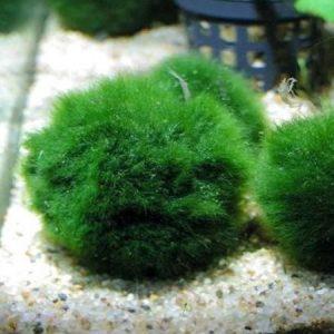 Moss Balls small