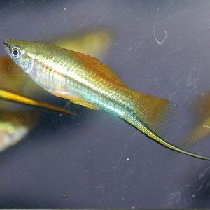 Neon Swordtail