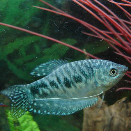 Opaline Gourami Tropical Fish Guide