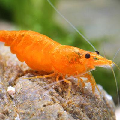 Orange Gold Shrimp
