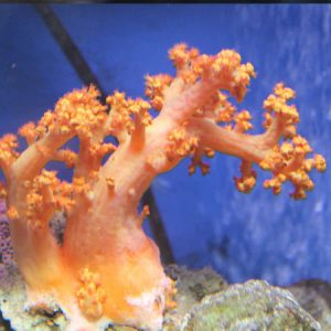 Red/Orange Soft Tree Coral PRE-ORDER