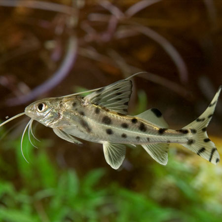 Pictus Catfish Tropical Fish