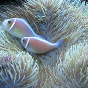Pink Skunk Clownfish Pre-Order