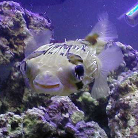 Porcupine Puffer Small
