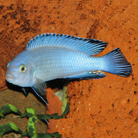 Powder Blue Cichlid 4/6cm