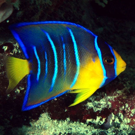 Queen Angelfish Juvenile MED PRE-ORDER
