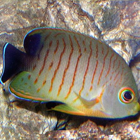 Red Stripe Dwarf Angelfish