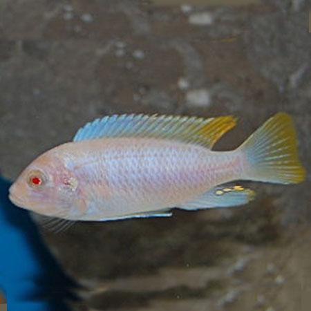 Albino Red Top Ice Blue 4/6cm