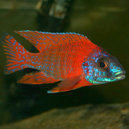 Red Peacock Cichlid 4/6cm