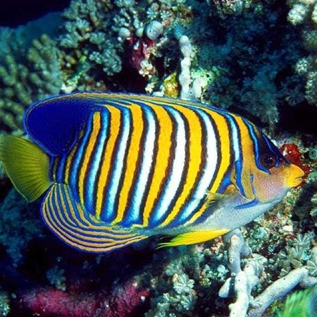 Regal Angelfish PRE-ORDER