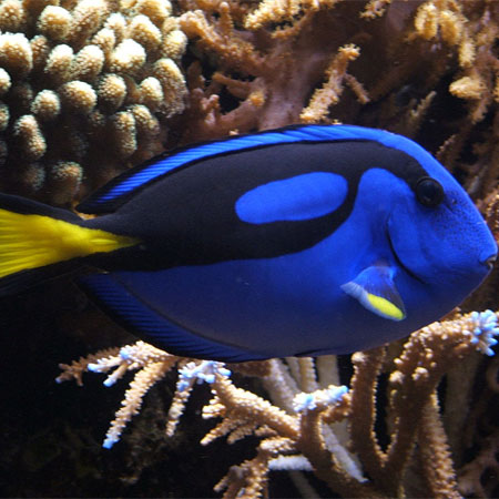 Regal Tang Small