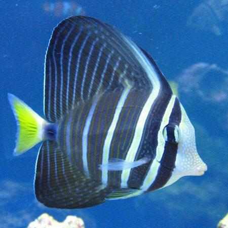 Pacific Sailfin Tang MEDIUM