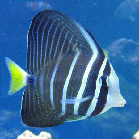 Pacific Sailfin Tang Large PRE ORDER