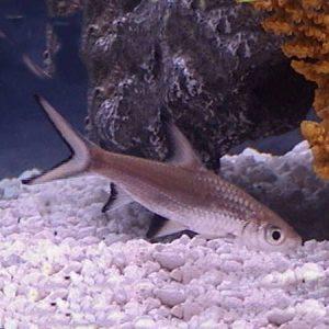 Silver Shark 3''