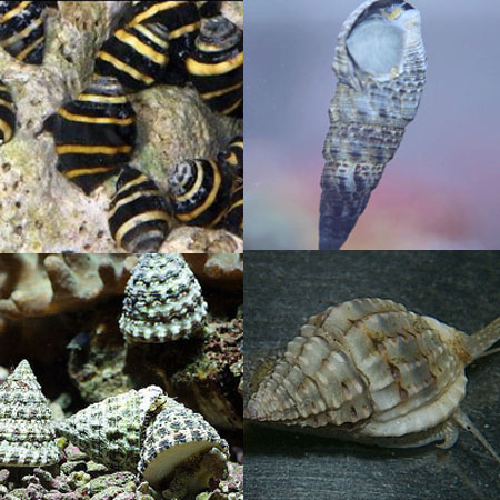 6 x Mixed Marine Snail Pack