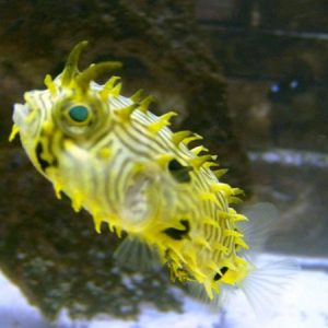 Spiny Box Puffer Pre-Order