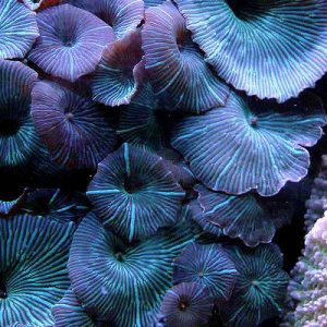 Striped Mushroom Coral
