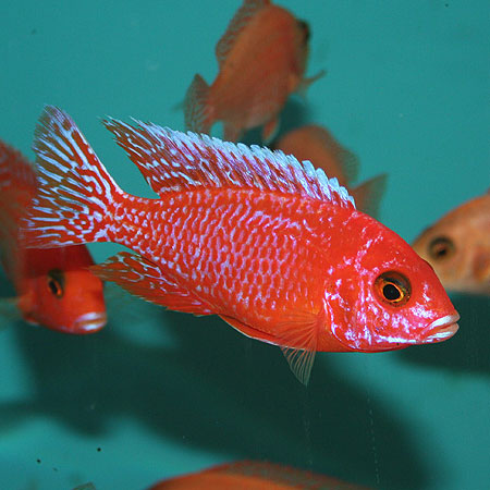 Strawberry Peacock 4/6cm
