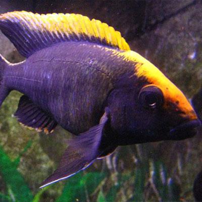 Sulphur Head Peacock 7/8cm