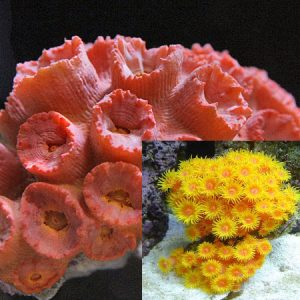 Sun Coral Cultured PRE-ORDER