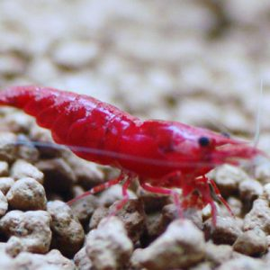 Deep Red  Fire Shrimp LARGE
