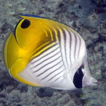Threadfin Butterfly PRE-ORDER