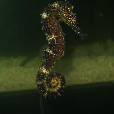 SeaHorses and Pipefish