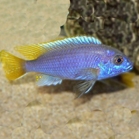 Yellow Tail Violet Cichlid 4/6cm