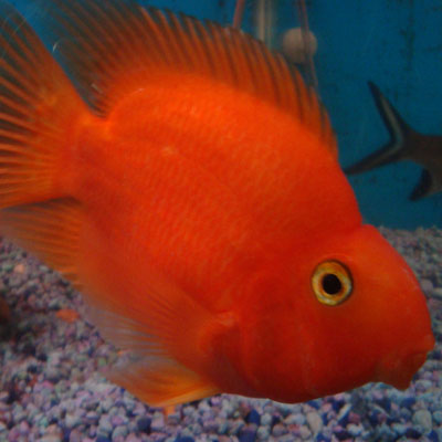 Other Cichlids