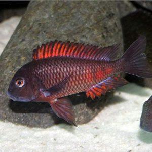 African Cichlids- Tanganyikan